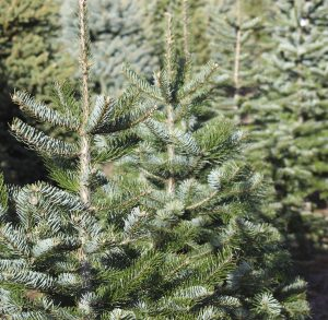 Order Your Christmas Tree Now!